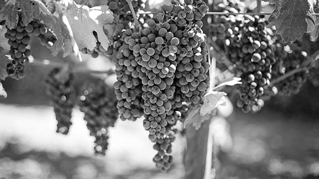 Aglianico vin drue Campania