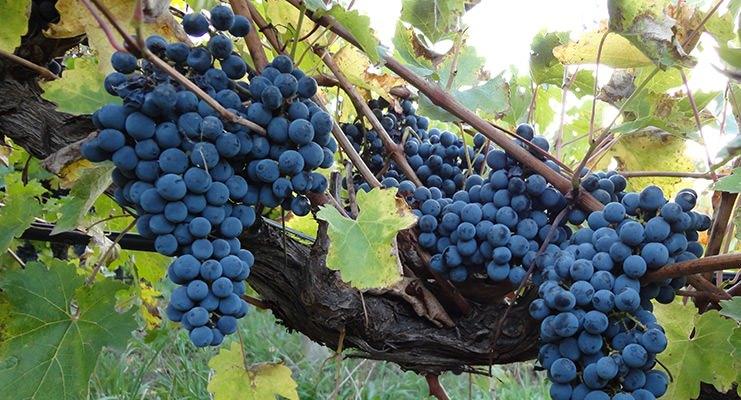 Amarone vin druetyper