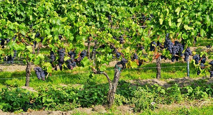 Bourgogne vin på Pinot Noir og Chardonnay