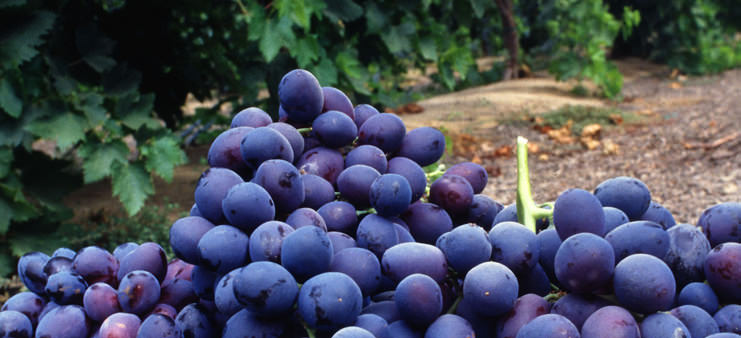 Cabernet Franc vin