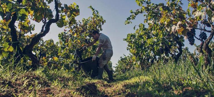 Plukning af Susumaniello i vinmarkerne omkring Brindisi