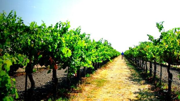 Pinot Noir vinmark i Clarksburg, Californien