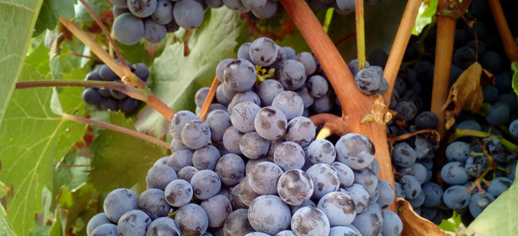 Rødvin kommer fra en vinstok som denne