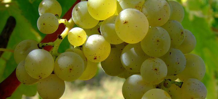 Sauvignon Blanc hvidvin